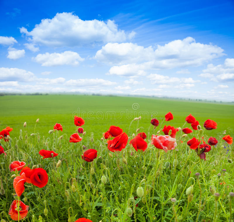 Närbild av röda vallmoblommor och det gröna fältet arkivfoton