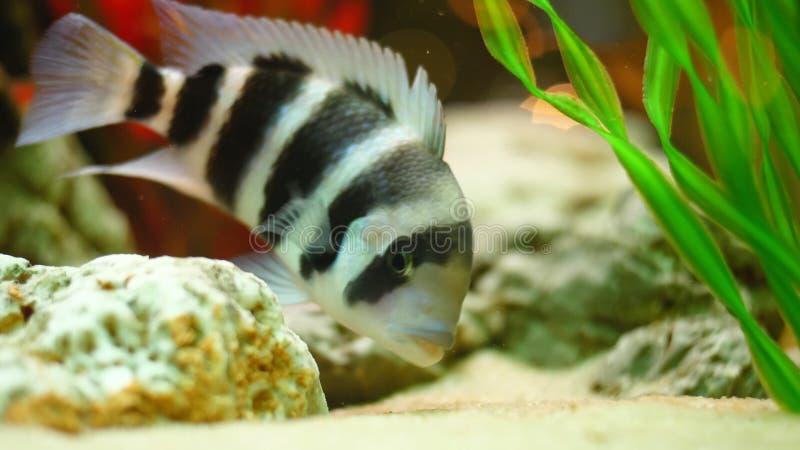 Närbild av randig fisksimning i akvarium Ram Den härliga svartvita fisken äter mat i botten av akvariet arkivbilder