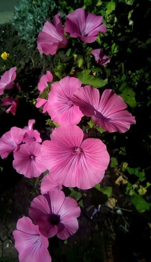 Närbild av rosa blommor på en bakgrund av gröna sidor Härliga blommor i form av en grammofon arkivfoton
