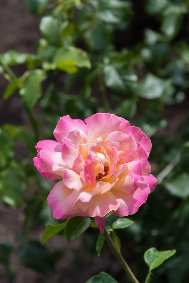 Närbild av rosa färgrosen med gränsen - gul mitt och mörkare rosa färg på kanter av kronblad royaltyfria foton
