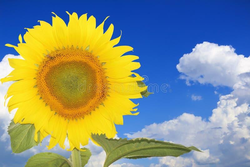 Närbild av solblomman mot a över molnig blå himmel royaltyfri bild