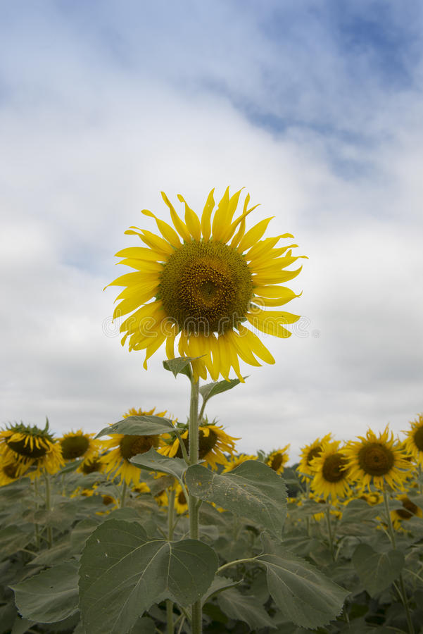 Närbild av sunblomman mot en blåttsky arkivfoton