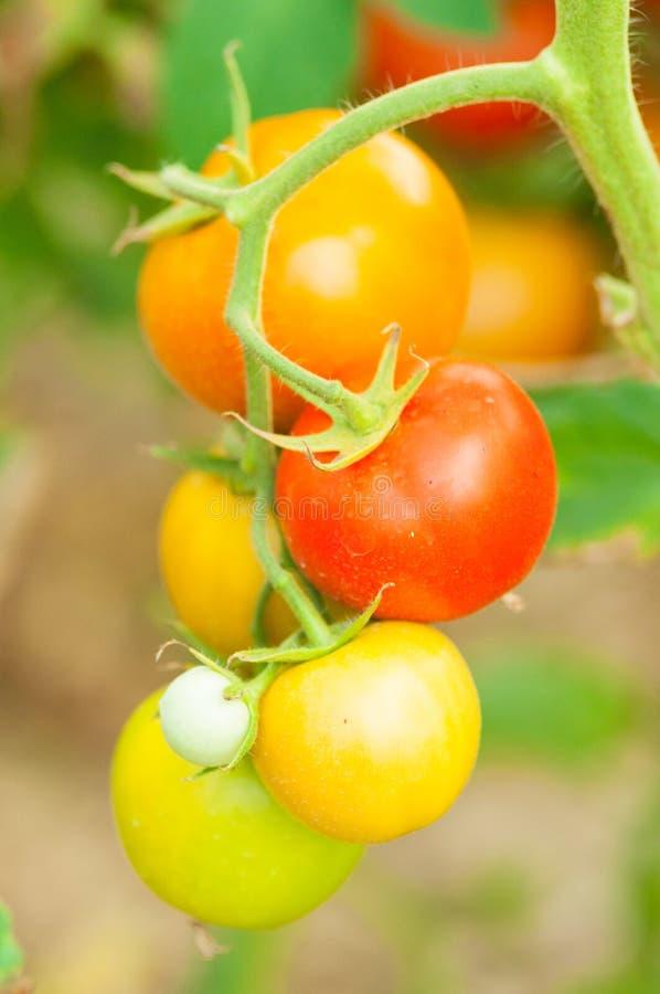 Närbild av tomatstammen med röda och gröna frukter royaltyfri bild