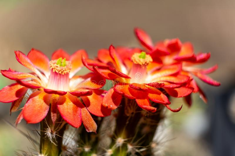 Närbild av tre röda kaktusblommor, vetenskaplig namnCactaceae, blomning royaltyfri foto