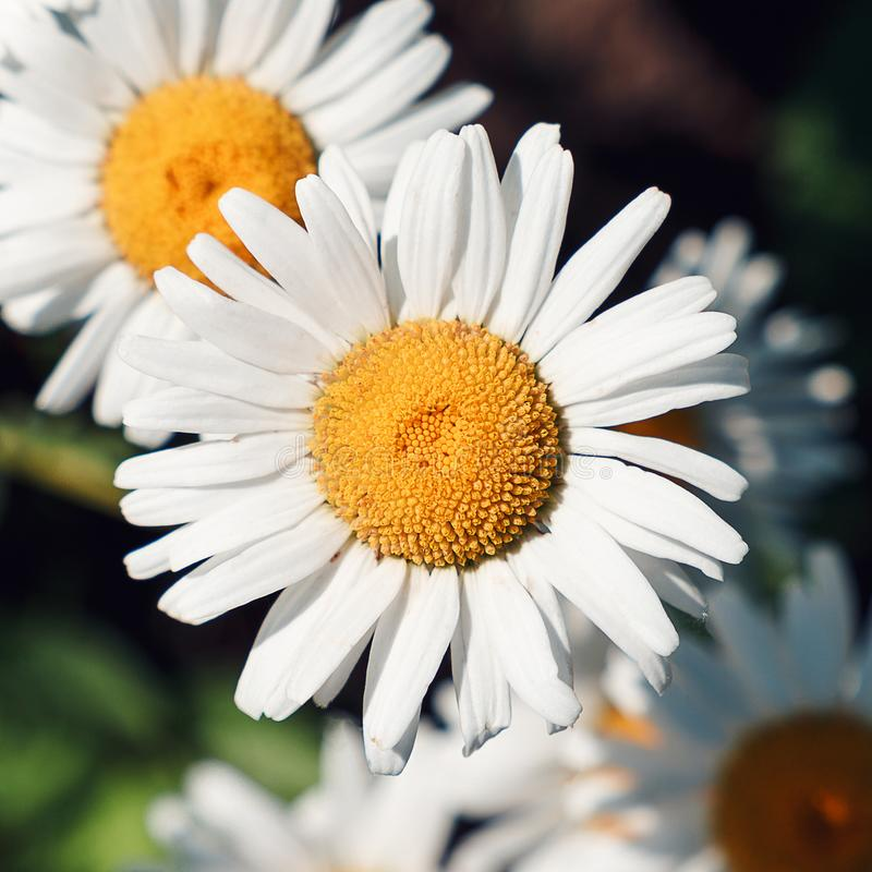 Närbild av tusenskönablommor i de försiktiga strålarna av den varma solen i trädgården Sommar v?rbegrepp h?rlig gjord naturvektor arkivbild
