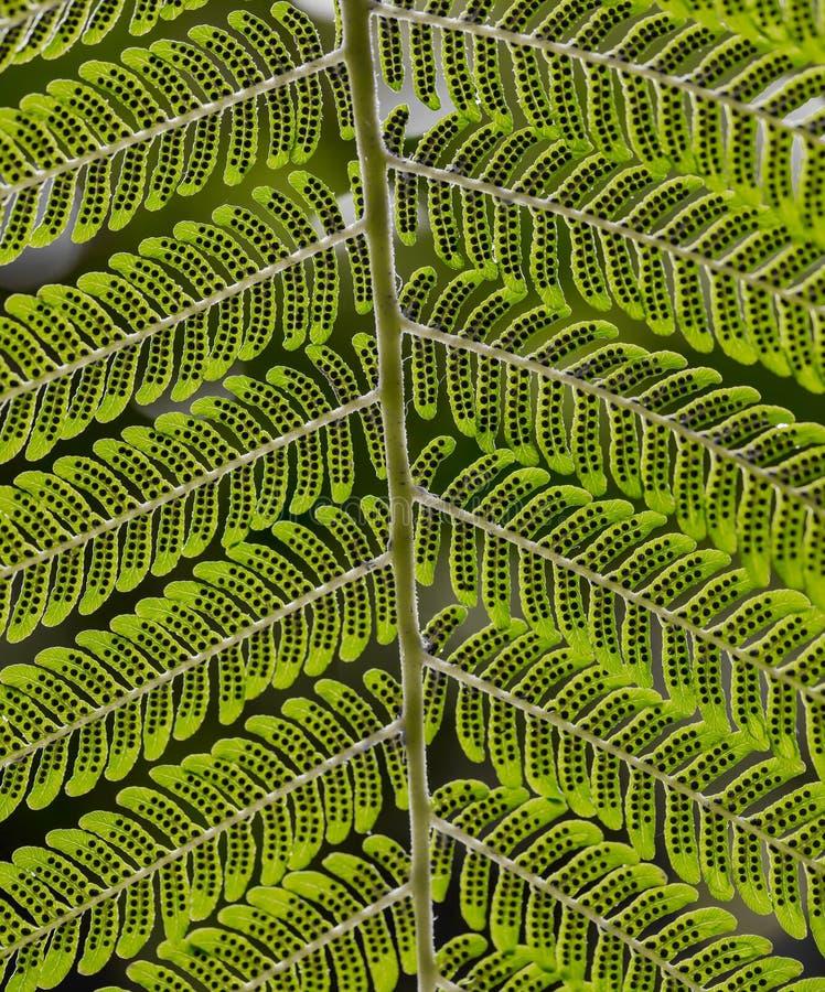 Närbild av undersidan av Fern Leaf med spor royaltyfri foto