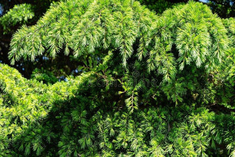 Närbild av unga ljust gräsplanvisare av den Himalayan cederträcedrusen Deodara, Deodar som växer på den Black Sea kusten royaltyfria bilder