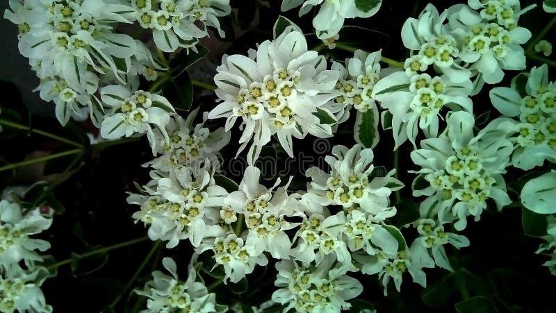 Närbild av vit med gröna blommor på en mörk bakgrund Delikata vita inflorescences med gröna åder arkivbild