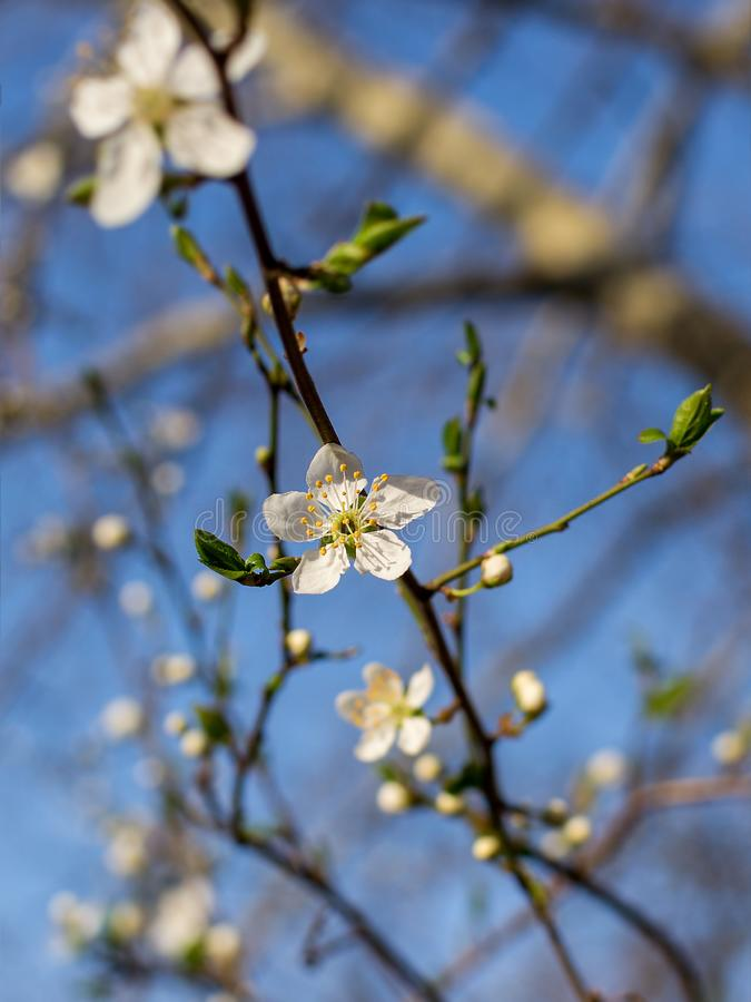 Närbild av vita blommor på en filial för körsbärsrött träd mot en blå himmel Blomma plommonet i tidig vår arkivbilder