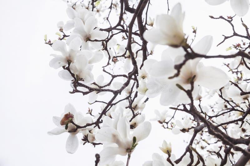 Närbild av vita magnoliaträdblomningar. royaltyfri fotografi
