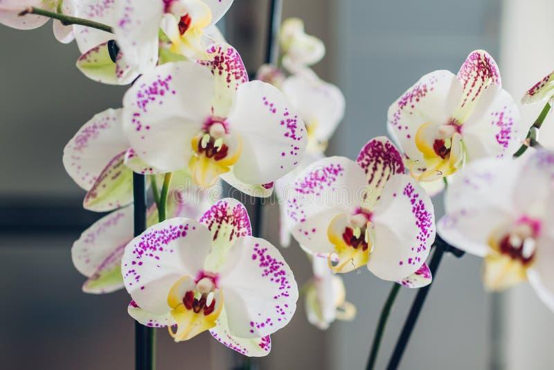 Närbild av vita och purpurfärgade prickiga orkidér backfround blommar home isolerat över white arkivbilder