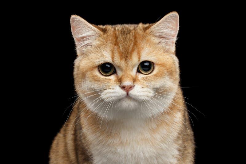 Närbild brittiska Cat Gold Chinchilla Looking in camera, isolerad svart arkivfoto
