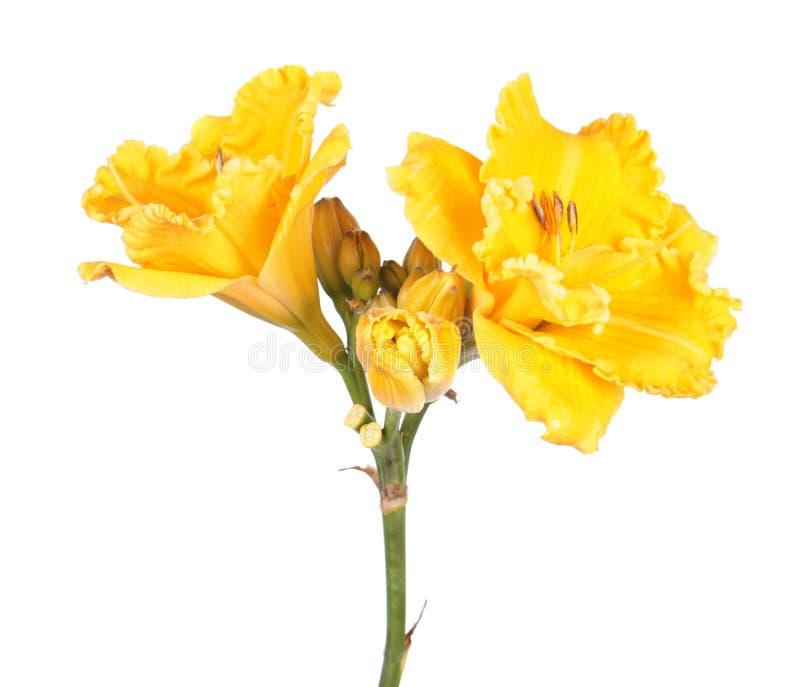 Närbild för blommor för DaylilyHemerocallis som ljus gul isoleras på vit bakgrund royaltyfri fotografi
