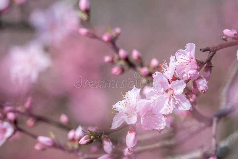Närbild för blommor för persikablomningträd i Chengdu arkivfoton