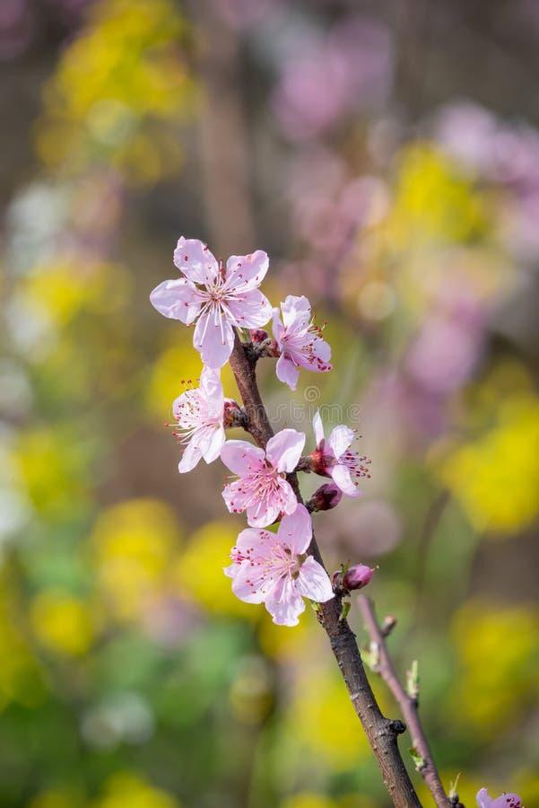 Närbild för blommor för persikablomningträd i Chengdu fotografering för bildbyråer