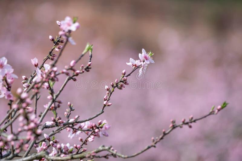Närbild för blommor för persikablomningträd i Chengdu royaltyfria foton