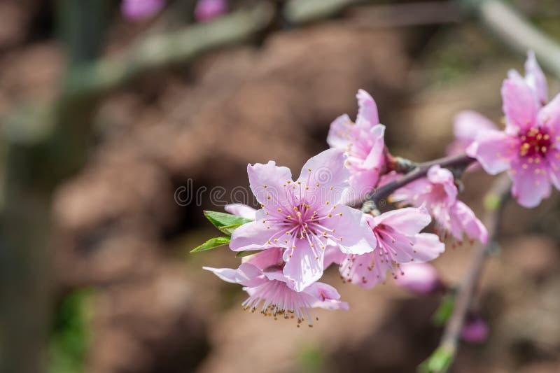 Närbild för blommor för persikablomningträd i Chengdu royaltyfri bild