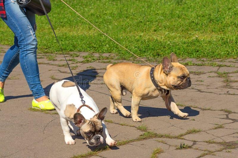 Närbild för fransk bulldogg arkivfoto