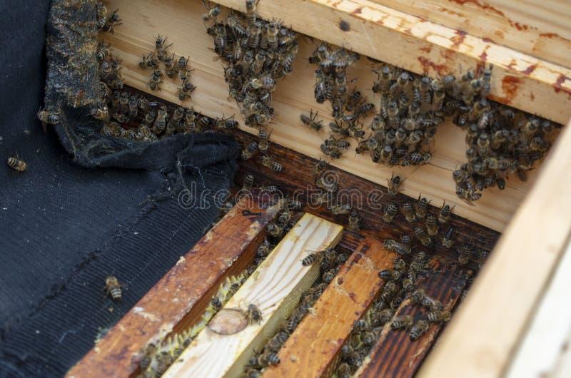 Närbild för många bin i fotoet Beekeeperen arbetar royaltyfria foton