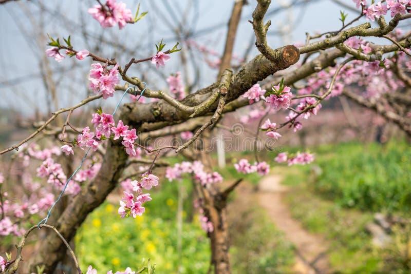 Närbild för persikablomningträd i Chengdu royaltyfri fotografi