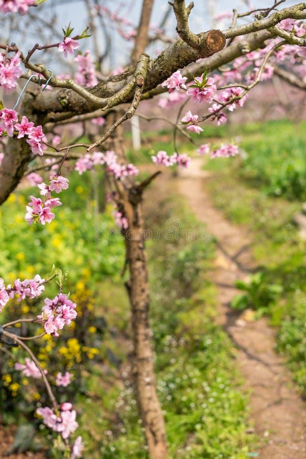 Närbild för persikablomningträd i Chengdu fotografering för bildbyråer