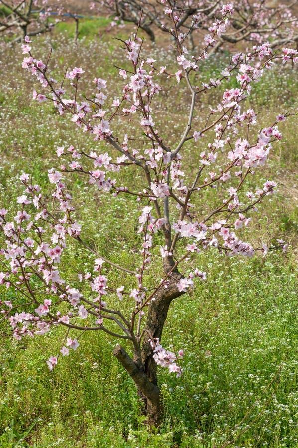 Närbild för persikablomningträd i Chengdu royaltyfri bild