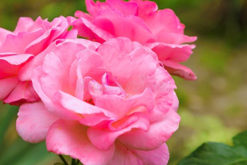 Närbild för rosa färgrosmakro royaltyfria bilder