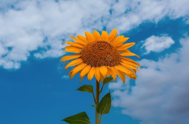 Närbild för solrossommarblomma, mot en bakgrund av moln arkivfoto
