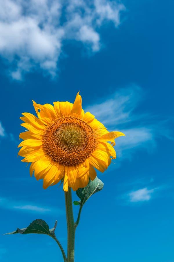 Närbild för solrossommarblomma, mot en bakgrund av moln royaltyfri fotografi