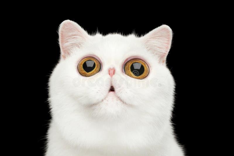Närbild förvånade rena vita exotiska Cat Head Isolated Black Background royaltyfri bild