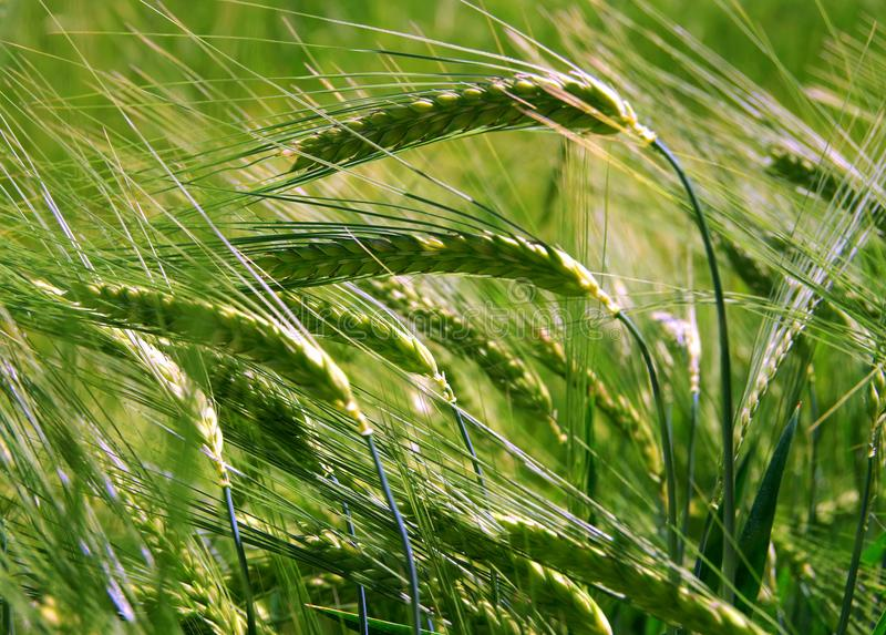 Närbild i cornfielden arkivfoto