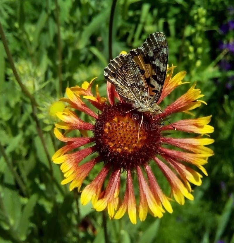Närbild med en fjäril som sitter på en blomma royaltyfria foton