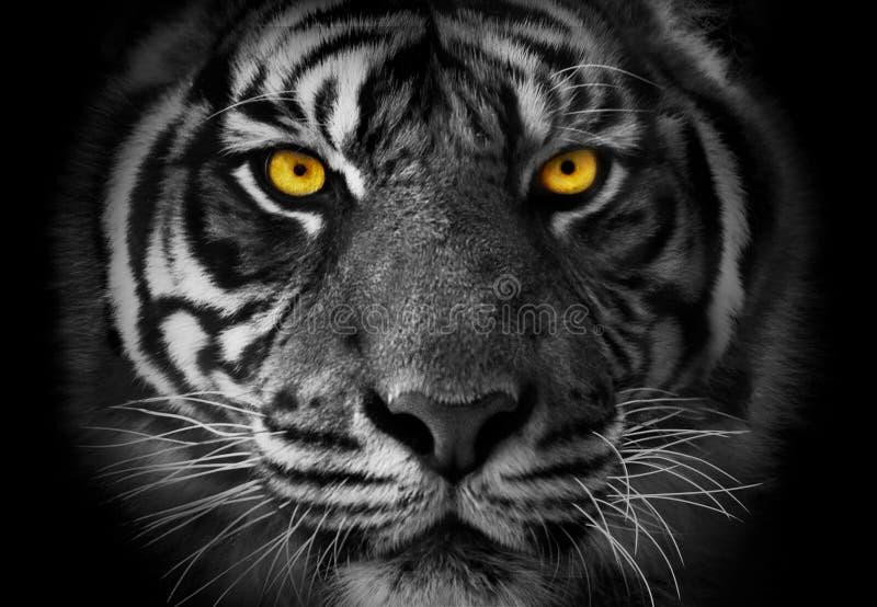 Närbild på en tigers den monokromma ståenden för framsida med akcent på ye arkivfoton