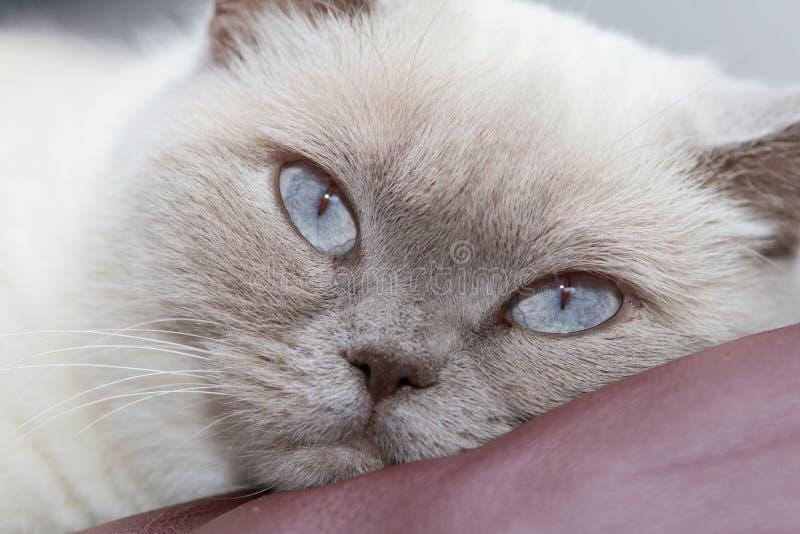 Närbild på huvudet av den vita brittiska shorthairkatten som ser borrad royaltyfria foton
