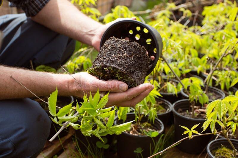 Närbild Rota systemet av vinrankor i trädgårdmarknad fotografering för bildbyråer