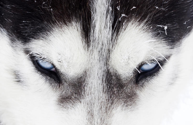 Närbild som skjutas av blåa ögon för skrovlig hund royaltyfri bild