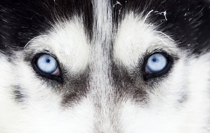 Närbild som skjutas av blåa ögon för skrovlig hund royaltyfri foto