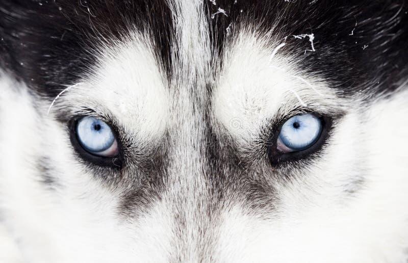 Närbild som skjutas av blåa ögon för skrovlig hund fotografering för bildbyråer