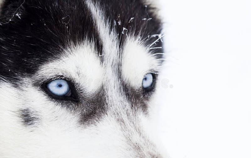 Närbild som skjutas av blåa ögon för skrovlig hund arkivbild