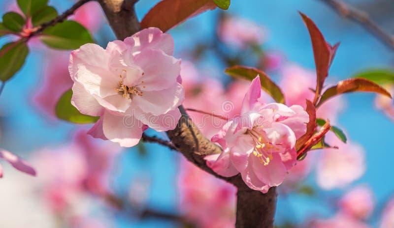 Närbild som skjutas av blomningar för vårpersikaträd, blå himmel på bakgrunden H?rliga rosa f?rger som blomstrar persikatr?d royaltyfri fotografi