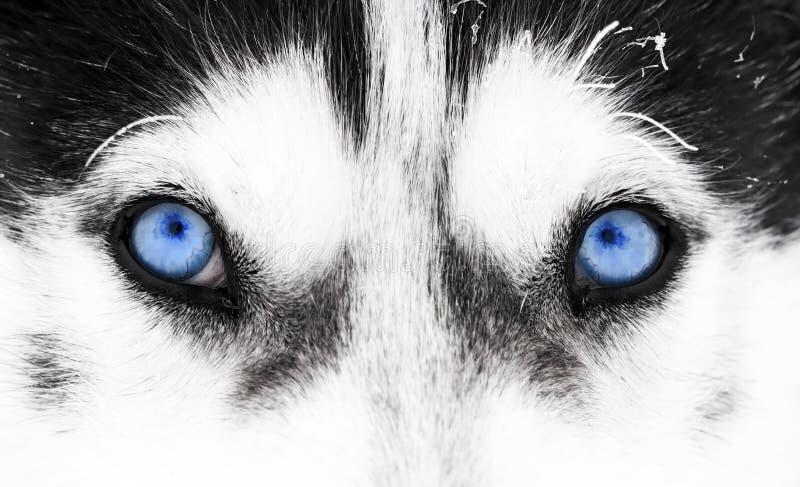 Närbild som skjutas av skrovlig hunds blåa ögon arkivfoto
