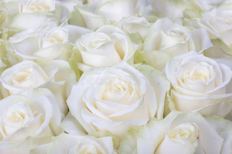 Närbild som skjutas av vita rosor royaltyfri bild