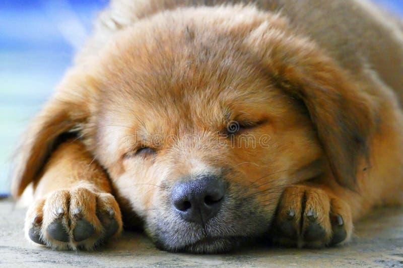 Närbild som sover den förtjusande lilla bruna valphunden för framsida arkivfoto