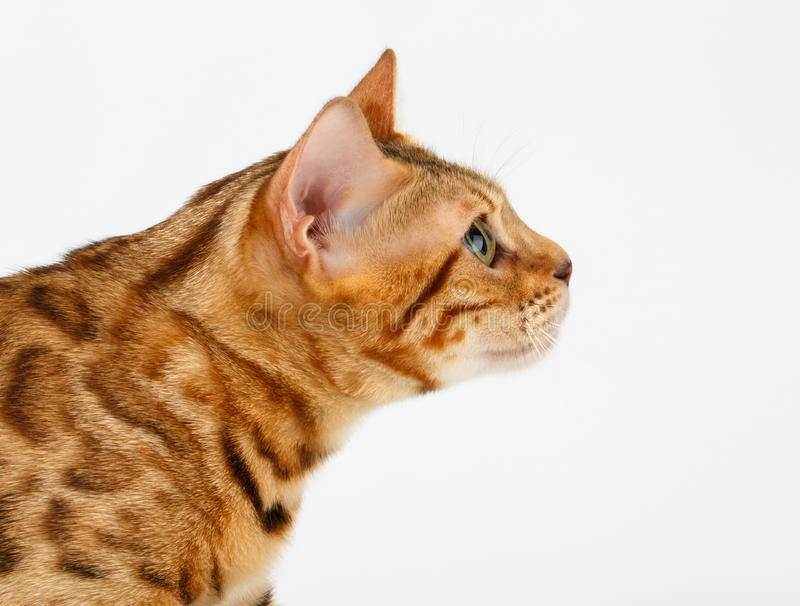 NärbildBengal katt på profilsikten på vit royaltyfri foto