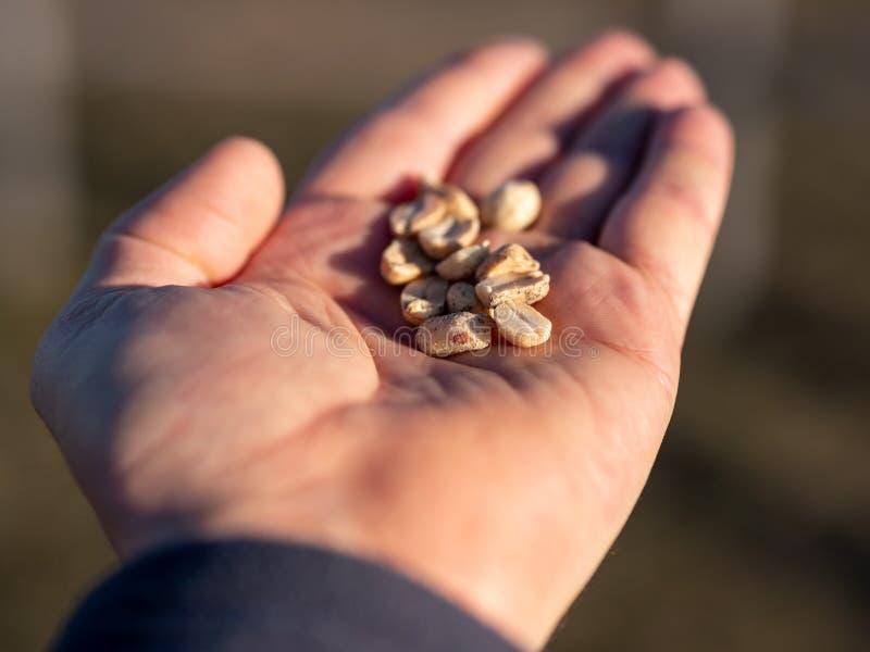 Närbildbild av grillade jordnötter i mans hand oskarp bakgrund fotografering för bildbyråer