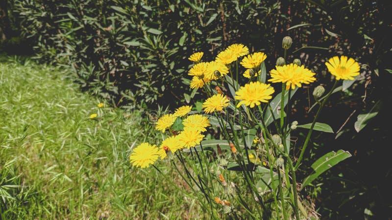 N?rbildbild av h?rliga gula blommor arkivfoton