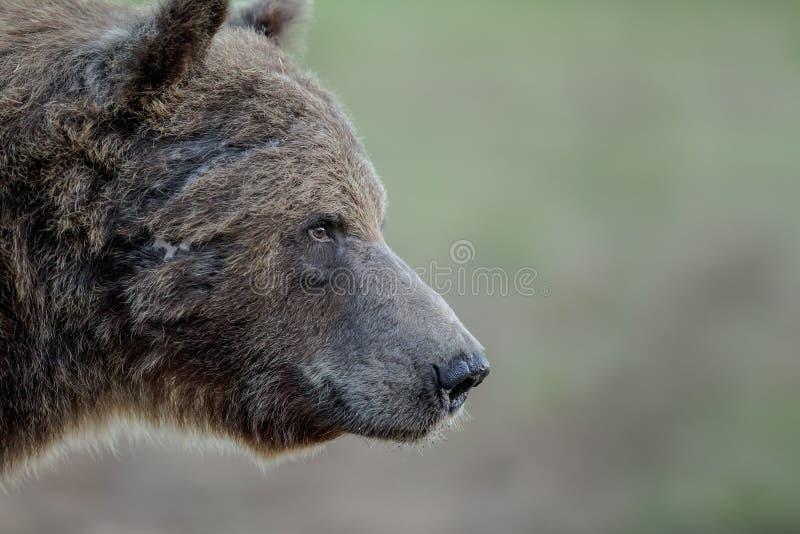 Närbildbjörn som ser genomsnittlig royaltyfri foto