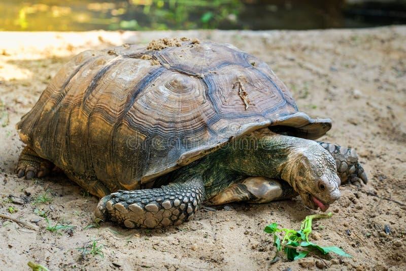 Närbilddetalj av en afrikan sporrad sköldpadda fotografering för bildbyråer