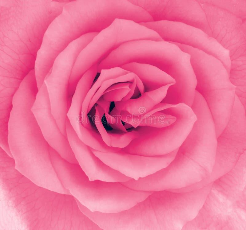 Närbilddetalj av en rosa färgrosblomma royaltyfri fotografi