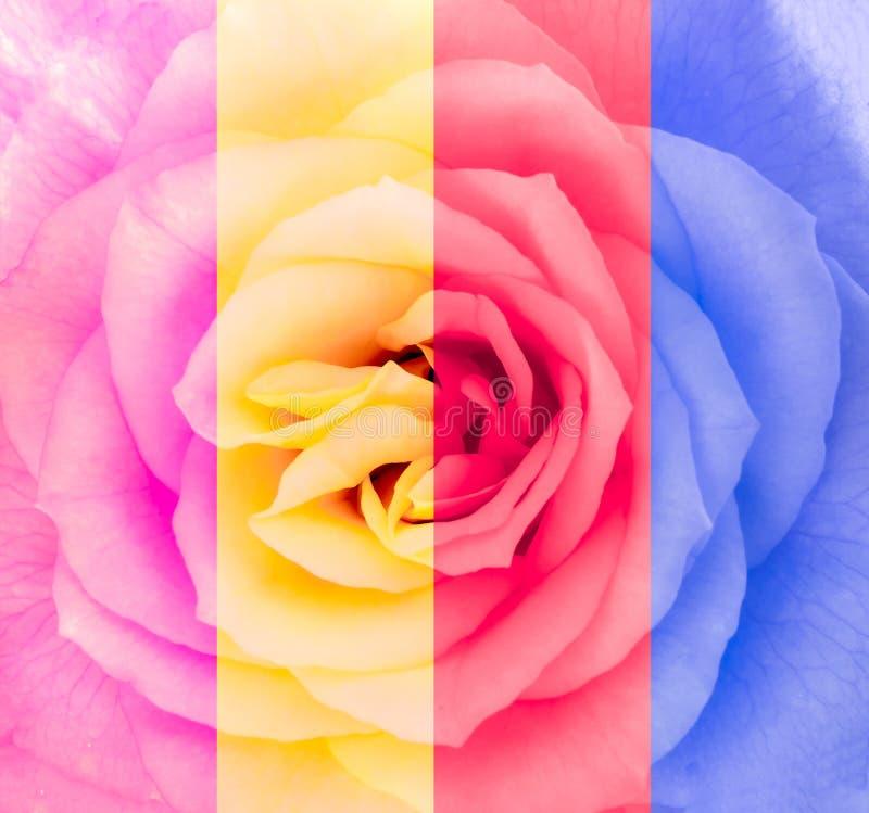 Närbilddetalj av rosblomman i flerfärgat royaltyfria bilder